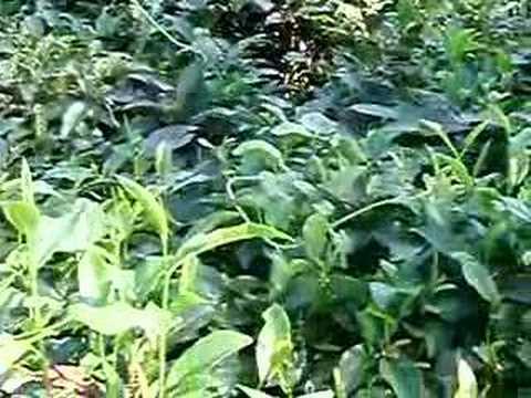 408. Plantacje herbaty w Sylhet. Tea plantation in Sylhet