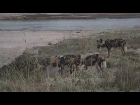 South Luangwa NP, Zambia: Wild dogs