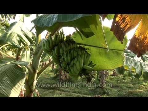 Banana cultivation – a good prospect for farmers in Karnataka