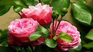 Roberta Miranda ------- Rosas