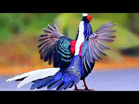Download Video Ayam Hias