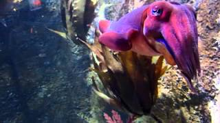 Octopus changing colour!