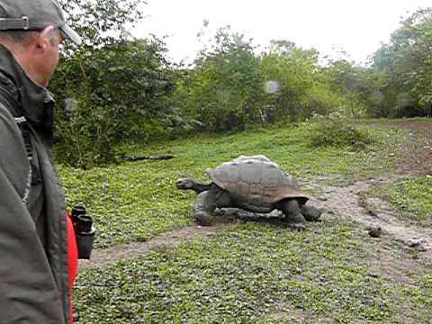 Riesenschildkröte Galapagos (Santa Cruz)