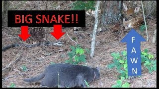 6 FOOT SNAKE GOES AFTER FAWN & FARM CAT INTERVENES!!! 06-10-18