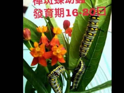 樺斑蝶的成長-蝴蝶仙子 - YouTube