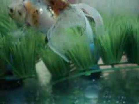 japon balığı yumurta