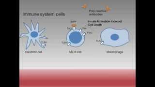 Body's 'safety procedure' could explain autoimmune disease: Animation
