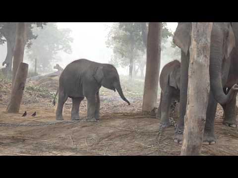 Chitwan-小象不斷移前移後