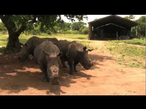 White Rhino, Safari Guide, South Africa – GoHop.ie – Unravel Travel TV