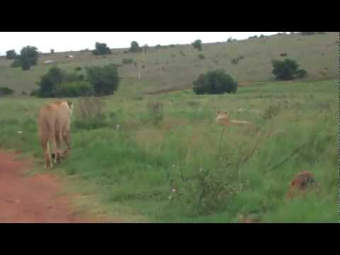 Lioness walking in front of my car