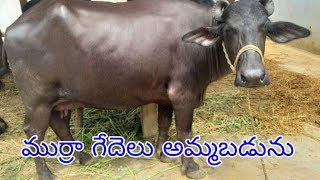 Murrah buffalo for Sale in Hyderabad,ts