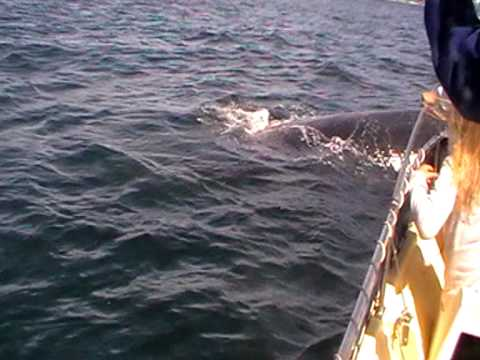 Schrecksekunden: Wale hautnah am Boot  in Südafrika