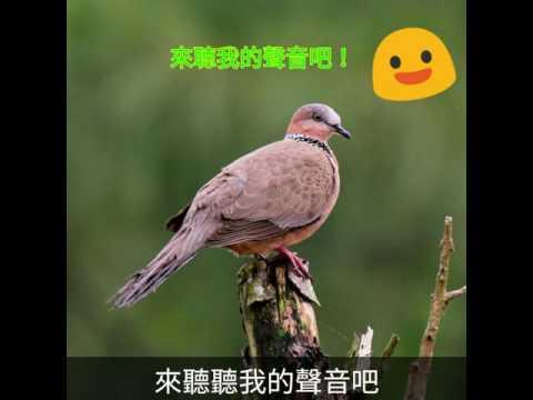 校園生態筆記~珠頸斑鳩