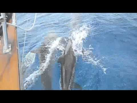 Vieques Dolphins
