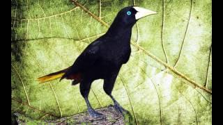 O Canto do Japu (Psarocolius decumanus) - Crested Oropendola