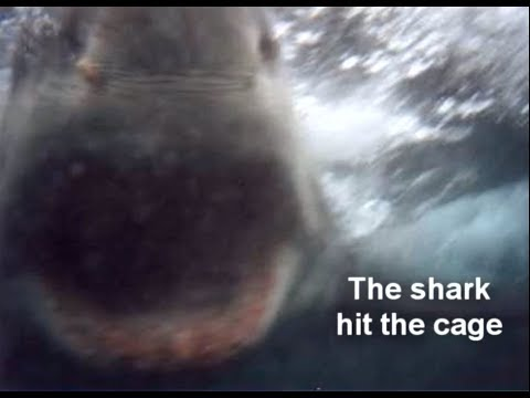 Great white shark bites cage – diving Gansbaai South Africa