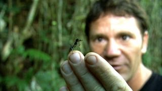 World's Biggest Ant! | Bullet Ant | Deadly 60 | BBC Earth