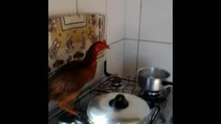 Triste história de uma galinha