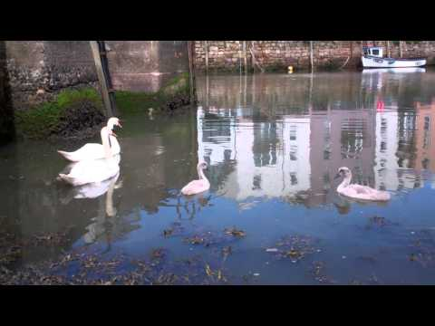 Swans And Cygnets Harbour St Andrews Fife Scotland