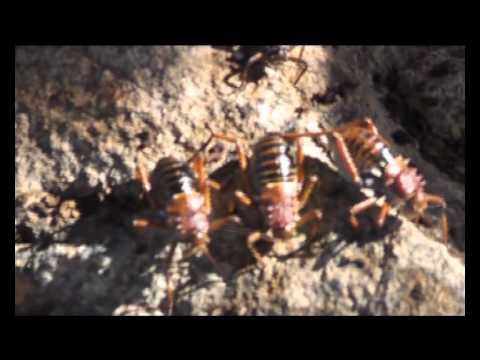 corn crickets (koringkrieken) are everywhere