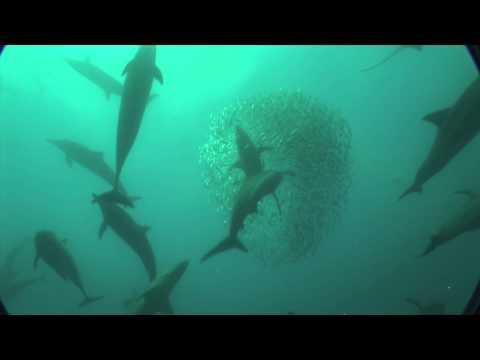 Sardine Run with Blue Wilderness