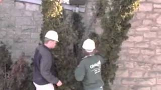 Repairing Arborvitae Damaged By Snow