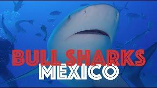 Bull Sharks - Playa Del Carmen