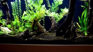 Pygmy corydoras foraging