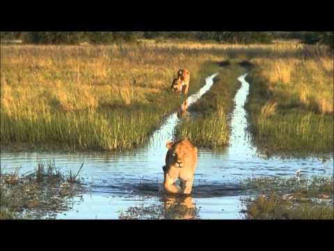 Moremi Lioness…