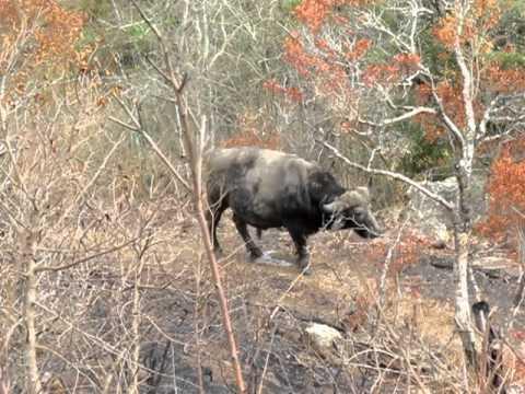 South Africa Safari – Water Buffalo Peeing