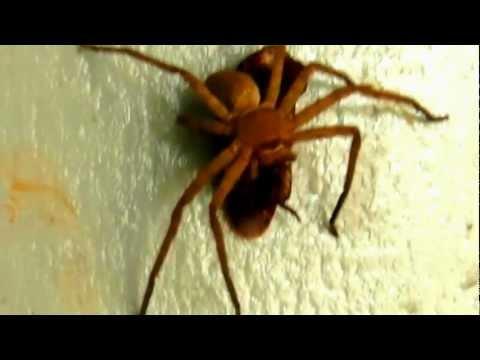 Terror!  Spider in Kewachala Bangladesh.