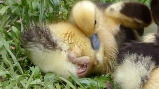 fauna brasileira PATINHOS ARREPIADOS brazilian cute baby fofos animais silvestres selvagem brasil