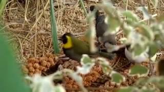 Diamente Gould Selvagem Alimentando na Natureza