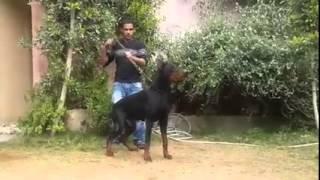 the best doberman dog