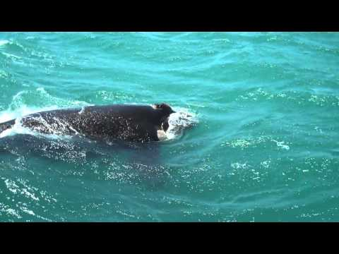 Whale Watching Gansbaai Dyers Island South Africa