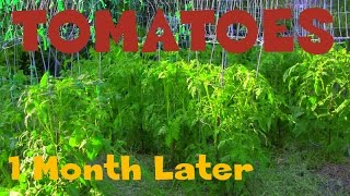 """Tomatoes"" ""1 Month Later"" homestead,bigboy & celebrity"
