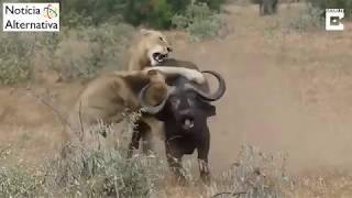 Leões tentam atacar búfalo mas são surpreendidos - Assista!