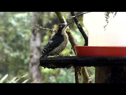Black-cheeked Woodpecker by Charlie Vogt  00099.MTS