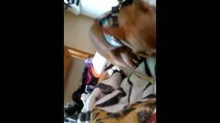Chihuahuas sexing
