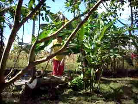raccolta banane cosecha bananos