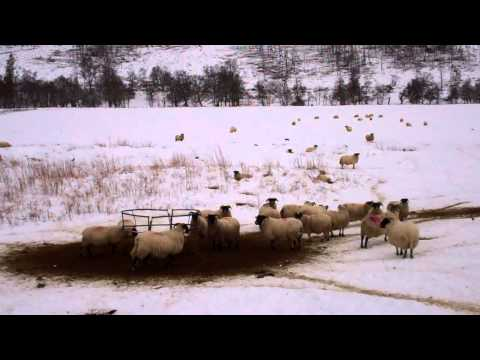 Winter View Scottish Sheep Near Pitlochry Highland Perthshire Scotland