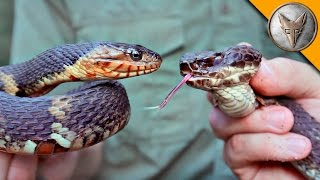 Cottonmouth vs Water Snake!