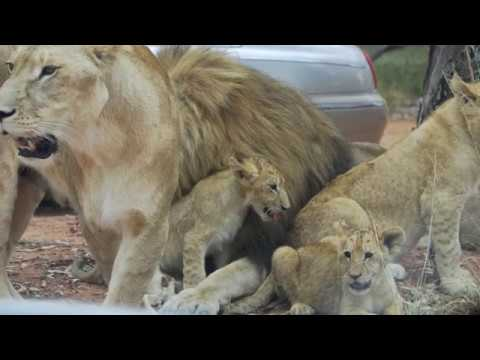 Lion Park – South Africa '10 – Large.m4v