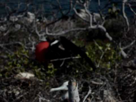 Magnificent Frigate birds at North Seymour -Galapagos Archipelago-