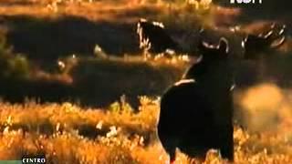 Instinto Animal - El Alce