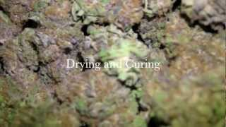 How to Dry and Cure Marijuana