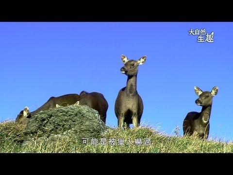 《大自然生趣》 EP03:迷霧林中的鹿科王者─水鹿