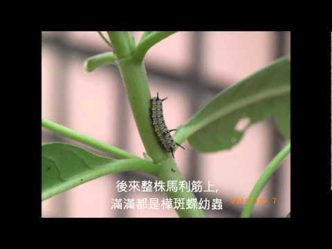 樺斑蝶生長紀錄.wmv - YouTube