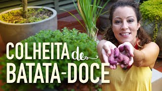 MÃOS na terra: colheita da BATATA-DOCE
