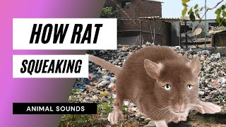 The Animal Sounds: Rat Squeaking - Sound Effect - Animation